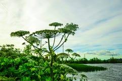 Hogweed groeit Royalty-vrije Stock Afbeeldingen
