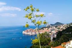 Hogweed-haracleum Dubrovnik lizenzfreie stockbilder
