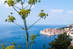 Hogweed-haracleum Dubrovnik stockfotografie