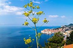 Hogweed-haracleum Dubrovnik stockfotos
