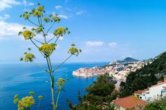 Hogweed haracleum Dubrovnik obrazy stock