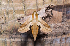 Hogweed hawkmoth Royalty Free Stock Image