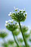 Hogweed Heracleum flower Royalty Free Stock Photos