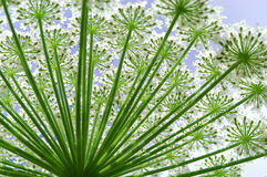 Hogweed Heracleum flower Royalty Free Stock Photo