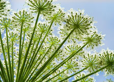 Hogweed Heracleumblume Stockbild
