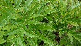 Hogweed leaves sway in the wind. Cow parsnip leaves. HD video footage of ststic camera stock video