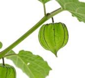 Hogweed owoc lub ziemi wiśnia na gałąź z białym tłem Zdjęcie Stock