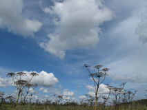 Hogweed plant and blue sky with white clouds. Grey plant in front of the blue sky stock photo