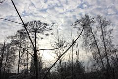 Hogweed in Russland Stockbilder