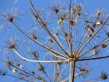 Hogweed seedhead against blue sky Stock Photography