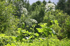Hogweed. Tidy the garden for planting Royalty Free Stock Images