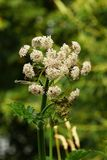Hogweed Royalty Free Stock Images