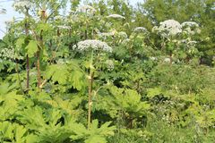 Weed, a toxic plant cow parsnip-blossoms in the summer. Hogweed is a weed, a poisonous plant.It is widespread in nature in many countries.It has useful royalty free stock photography