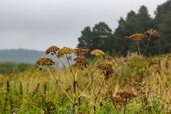 Hogweedparaplu's op een gebied dichtbij de Talksteengroeve in het gebied van Sverdlovsk royalty-vrije stock afbeelding