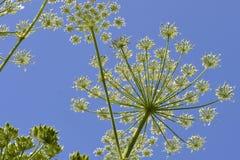 Hogweeds sotto un chiaro cielo blu Fotografia Stock