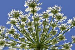 Hogweeds sotto un chiaro cielo blu Fotografia Stock Libera da Diritti