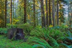 Деревья в тропическом лесе Hoh Стоковая Фотография RF