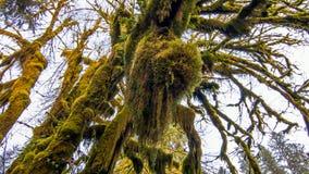 Hoh las tropikalny w olimpijskim parku narodowym, Washington, usa fotografia royalty free