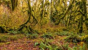Hoh las tropikalny w olimpijskim parku narodowym, Washington, usa obraz royalty free