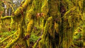 Hoh las tropikalny w olimpijskim parku narodowym, Washington, usa zdjęcia royalty free
