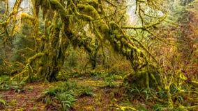Hoh las tropikalny w olimpijskim parku narodowym, Washington, usa obraz stock
