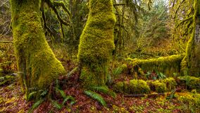 Hoh las tropikalny w olimpijskim parku narodowym, Washington, usa obrazy stock