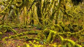 Hoh las tropikalny w olimpijskim parku narodowym, Washington, usa zdjęcie royalty free