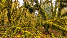 Hoh las tropikalny w olimpijskim parku narodowym, Washington, usa fotografia stock