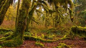 Hoh las tropikalny w olimpijskim parku narodowym, Washington, usa obrazy royalty free