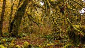 Hoh las tropikalny w olimpijskim parku narodowym, Washington, usa zdjęcia stock