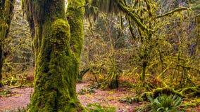 Hoh las tropikalny w olimpijskim parku narodowym, Washington, usa zdjęcie stock
