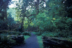 HOH National First Washington Rain Forest Olympic Peninsula, WA Imagen de archivo libre de regalías