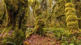 Hoh Rain Forest Fotografia Stock Libera da Diritti