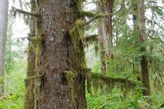 Hoh Rain Forest. In Olimpic National Park, Washington Royalty Free Stock Image