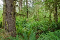 Hoh Rain Forest. In Olimpic National Park, Washington Royalty Free Stock Photo