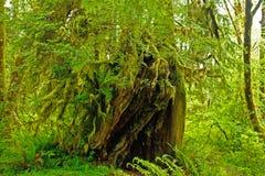 Hoh Rain Forest Fotografie Stock Libere da Diritti