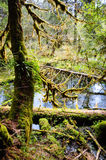 Hoh Rain Forest, Olympic National Park Stock Photography