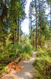 Hoh Rain Forest, Olympic National Park Stock Image