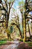 Hoh Rain Forest, Olympic National Park Royalty Free Stock Image
