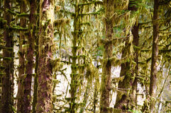 Hoh Rain Forest, Olympic National Park Royalty Free Stock Images