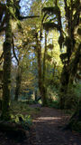 Hoh Rain Forest, Olympic National Park, WASHINGTON USA - October 2014: The Epic Hall Of Mosses Trail. Trees covered in moss Royalty Free Stock Photos