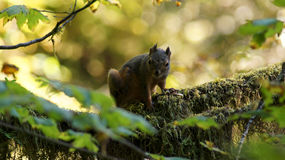 Hoh Rain Forest, Olympic National Park, WASHINGTON USA - October 2014: Red Squirrel sitting on a moss covered tree Stock Photo