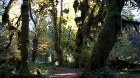 Hoh Rain Forest olympisk nationalpark, WASHINGTON USA - Oktober 2014: Den episka Hall Of Mosses Trail Arkivfoton