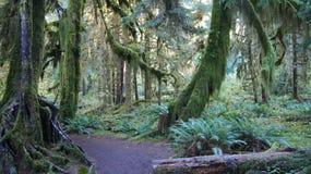 Hoh Rain Forest olympisk nationalpark, WASHINGTON USA - Oktober 2014: Slinga till och med trädcoverden med mossa Arkivfoto