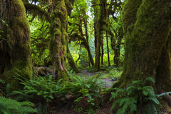 Hoh Rain Forest Stock Images