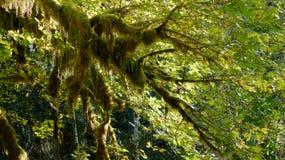 Hoh Rain Forest, parque nacional olímpico, WASHINGTON los E.E.U.U. - octubre de 2014: coverd de los árboles con el musgo Imagen de archivo