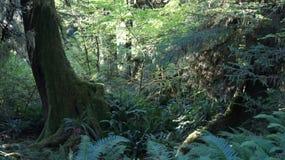 Hoh Rain Forest, parque nacional olímpico, WASHINGTON los E.E.U.U. - octubre de 2014: coverd de los árboles con el musgo Fotografía de archivo