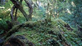 Hoh Rain Forest, parque nacional olímpico, WASHINGTON los E.E.U.U. - octubre de 2014: coverd de los árboles con el musgo Imagen de archivo libre de regalías