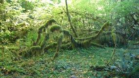 Hoh Rain Forest, parque nacional olímpico, WASHINGTON los E.E.U.U. - octubre de 2014: coverd de los árboles con el musgo Imagenes de archivo