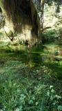 Hoh Rain Forest, parque nacional olímpico, WASHINGTON los E.E.U.U. - octubre de 2014: coverd de los árboles con el musgo Fotos de archivo libres de regalías